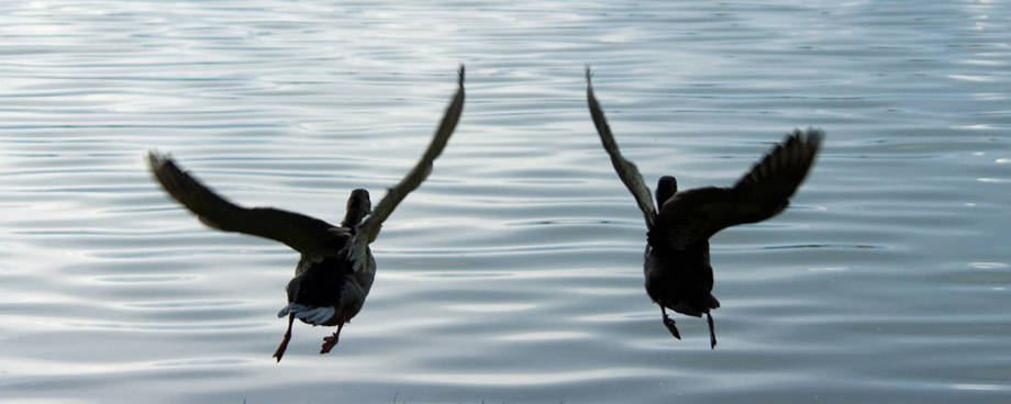 canards s'envolants